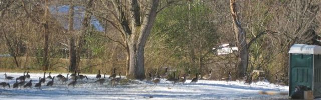 canada geese in the smokies