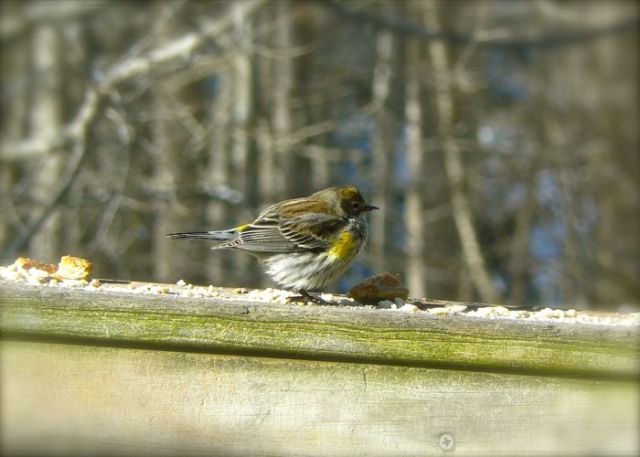 yellow rumped warbler in Townsend