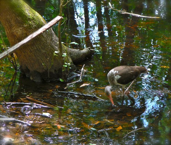 immature ibis and banded water snake