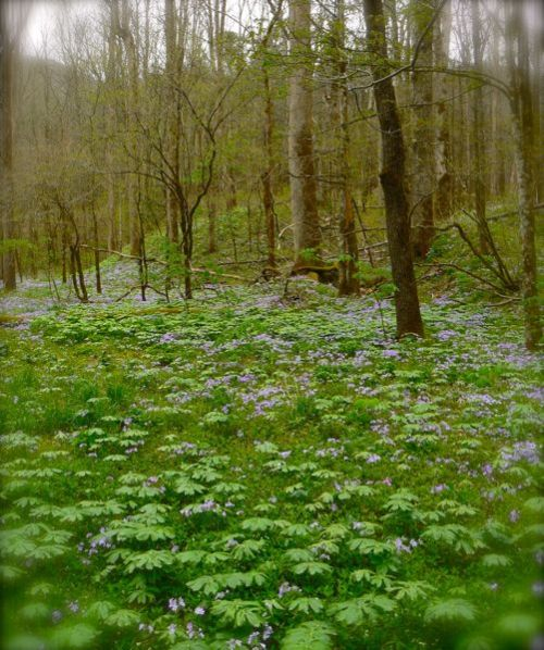 field of blue phlox at white oak sinks