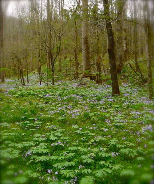 field of blue phlox at white oak sinks