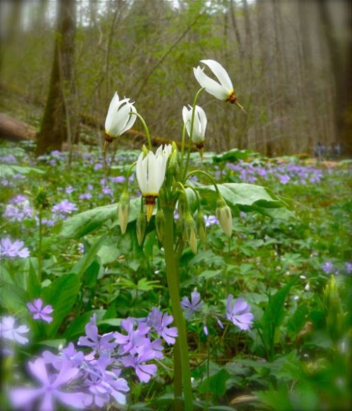 shooting star at white oak sinks