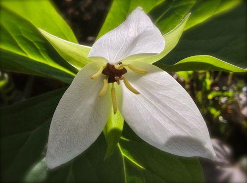 Sweet White Trillium image