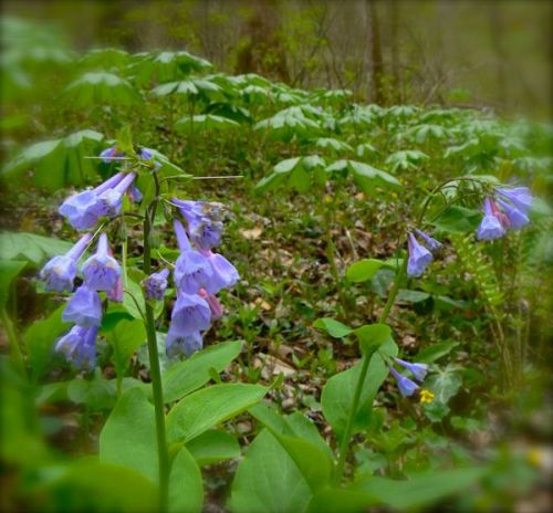 Virginia Bluebells at White Oak Sinks