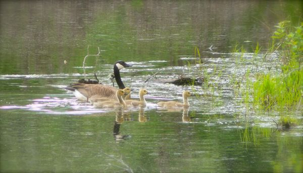cananda geese with babies