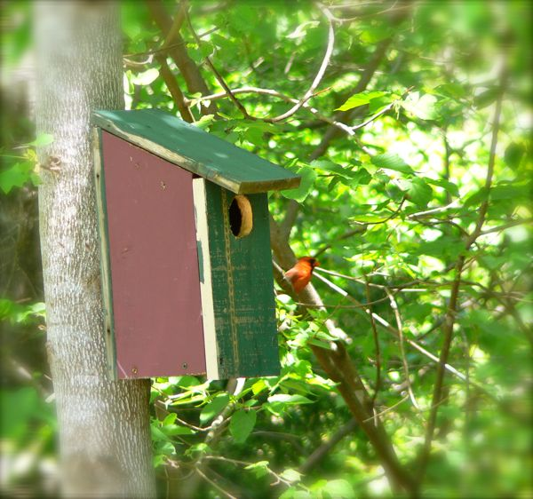 male cardinal with birdhouse