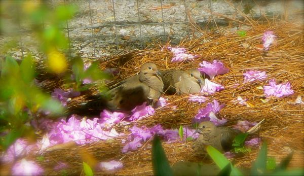 mourning doves with azelea flowers
