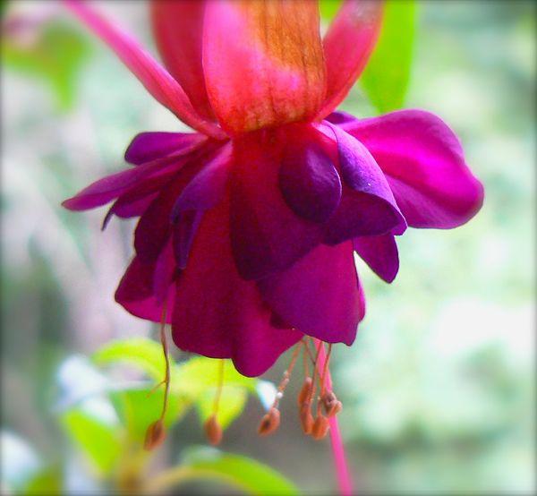 fuschia blossom