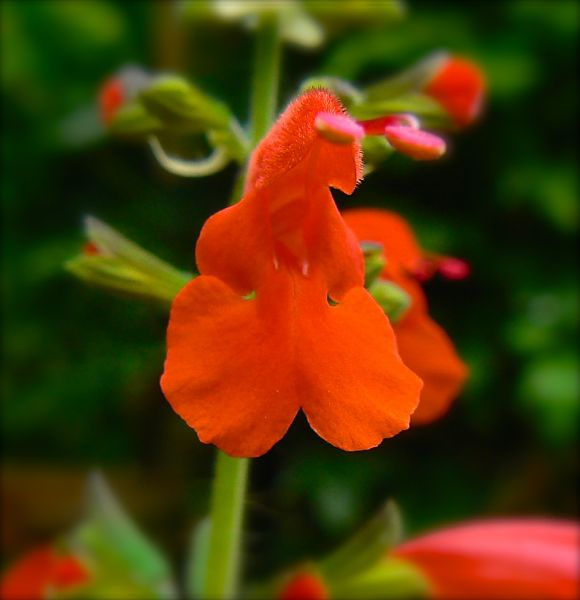 salvia blossom