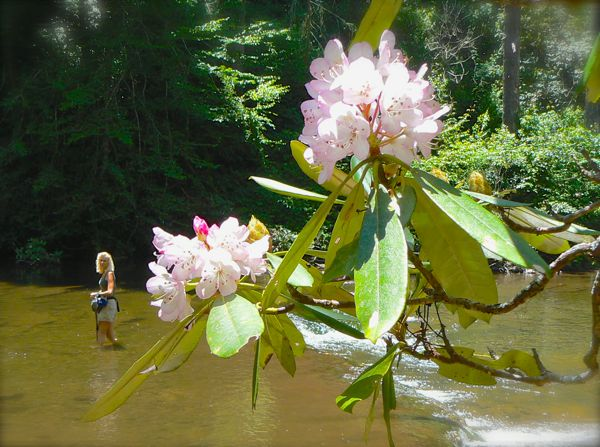 rachelle siegrist and rhododendron bloom