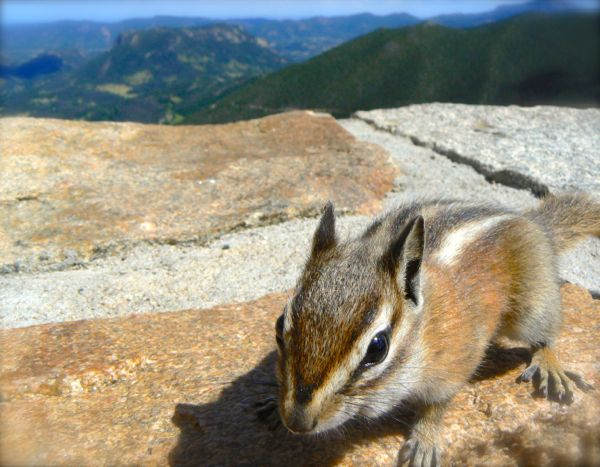 chipmunk in colorado