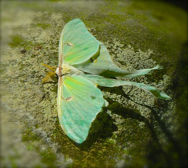 luna moth along middle prong trail
