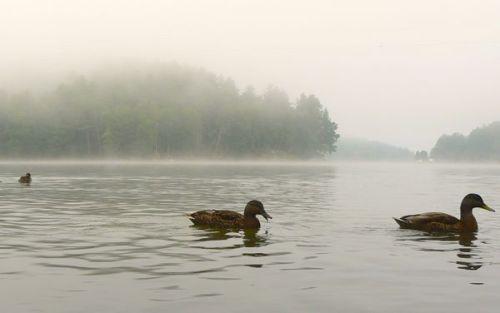 mallard ducks on lake glenville