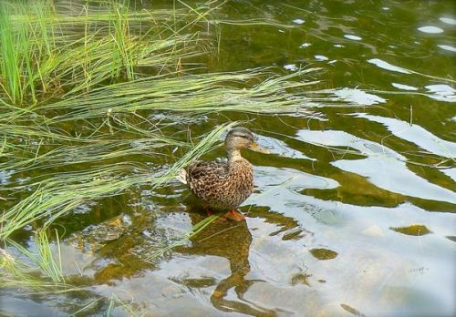 siegrist photo of mallard duck at sprague lake