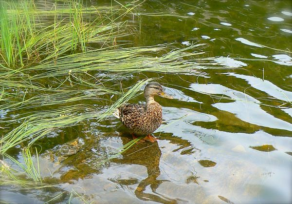 siegrist photo of mallard duck at sprague lake