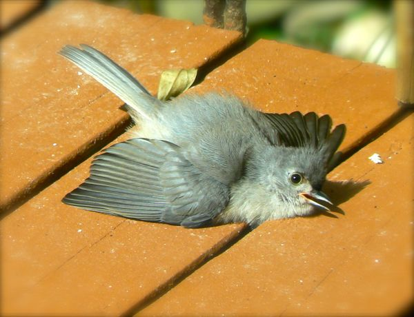 sunbathing tufted titmouse