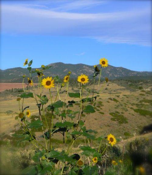 wild sunflowers in colorodo