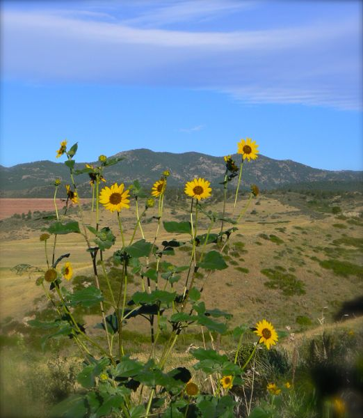 wild sunflowers in colorodo