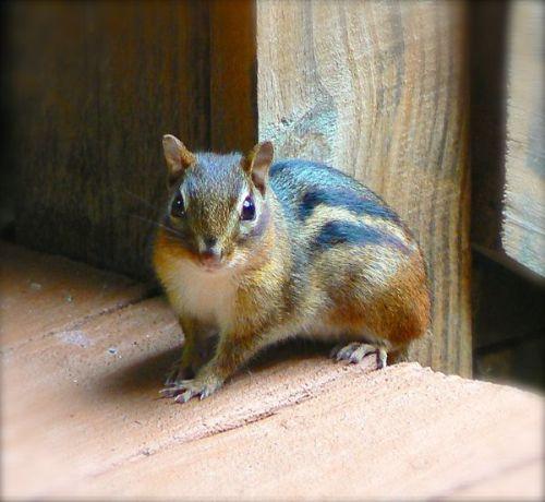 chipmunk on siegrist porch