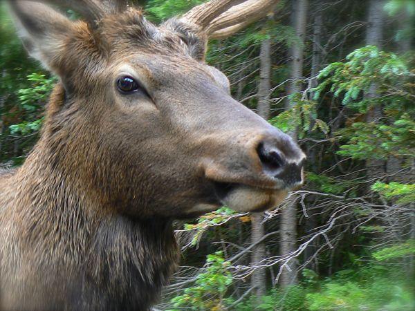 elk by window in rocky mountain national park