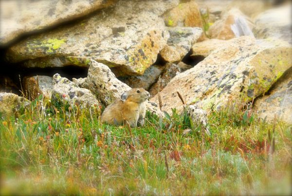 pika in rocky mountain national parkjpg