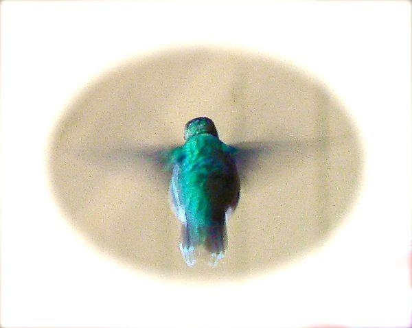 ruby throated humminbird on siegrist porch