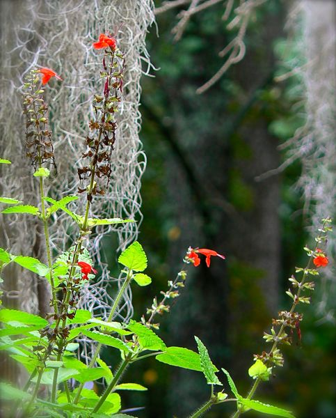 salvia blooming on rachelle siegrist's porch