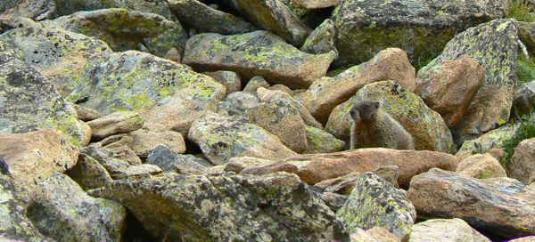 siegrist marmot photo in rocky mountain national park