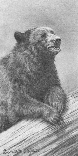 black bear drawing by Rachelle Siegrist