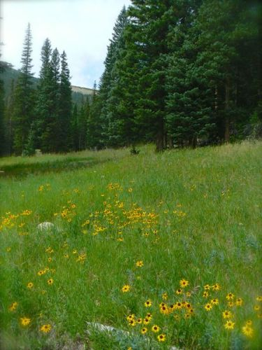 wild sunflowers in rocky mountain national park