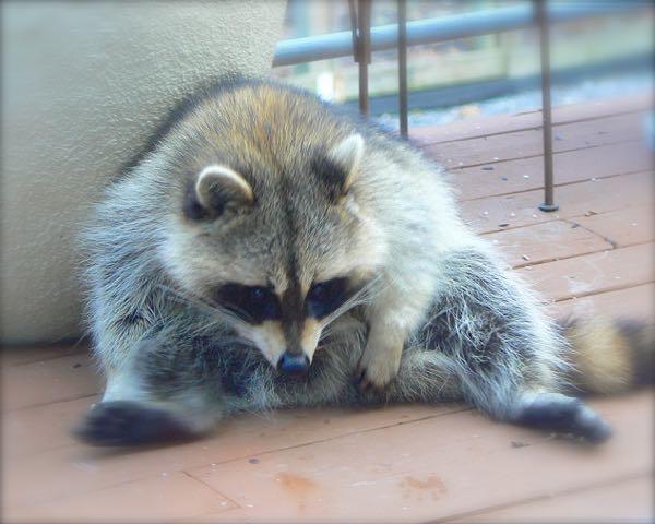 a funny  chubby raccoon photo