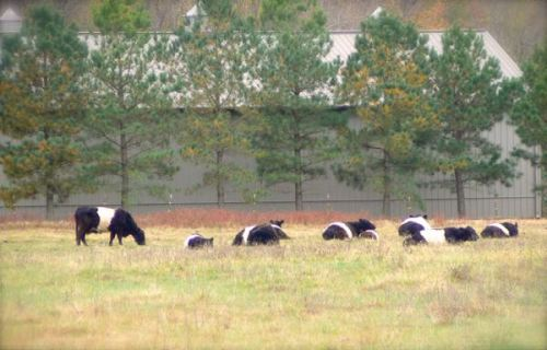 belted galloway cows in Easton, MD
