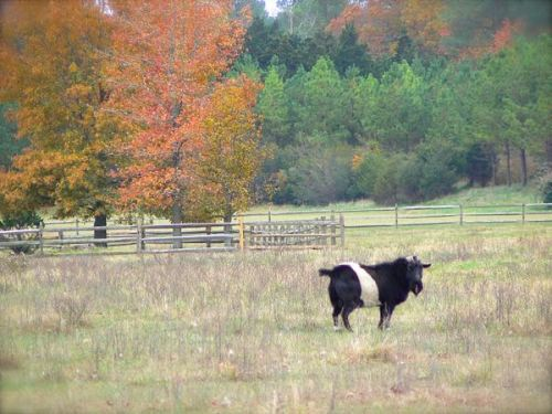 belted galloway goat