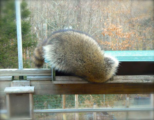 funny raccoon photo