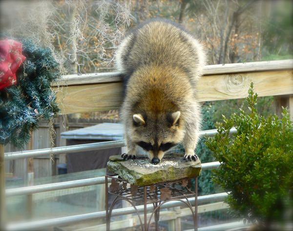 raccoon eating peanuts