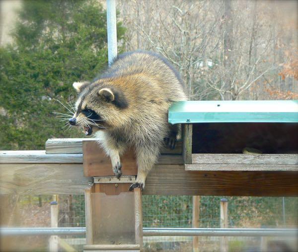 raccoon eating sunflower