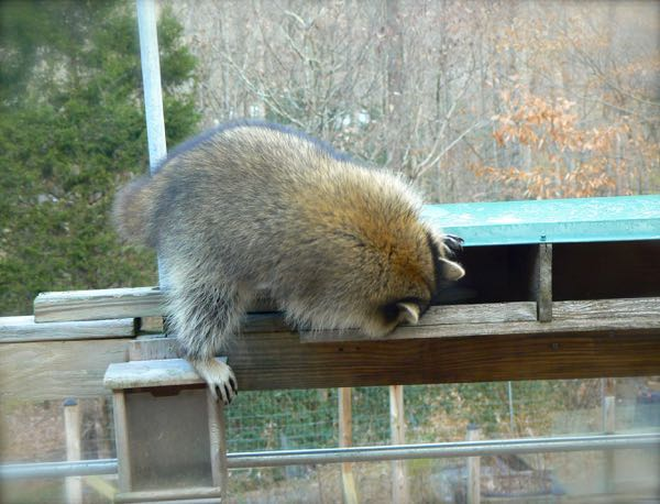 raccoon looking for seeds