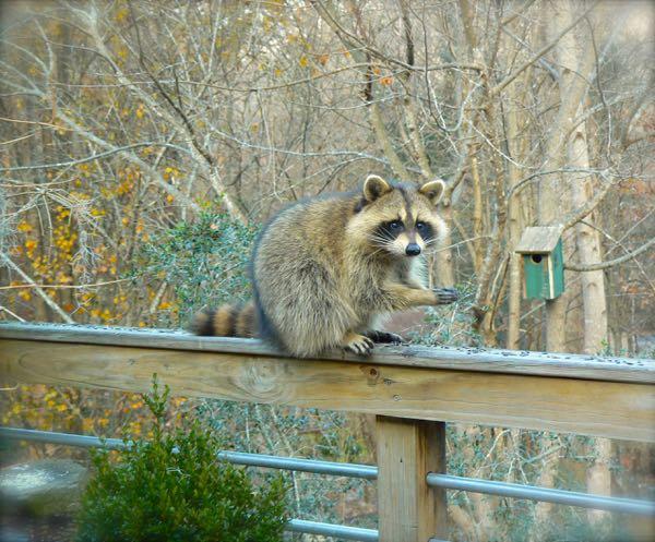 raccoon visiting siegriat art studio