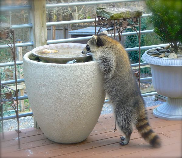 thirsty raccoon