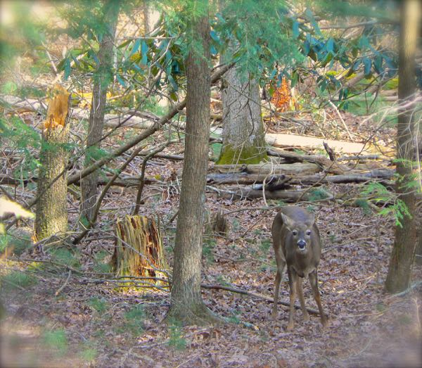 white tail deer in cades cove