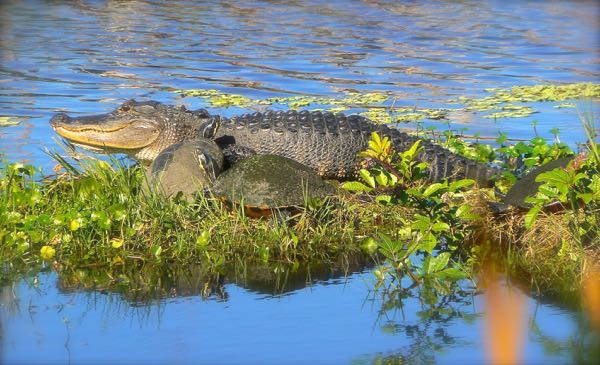 alligator and turtles at Taylor Creek Stormwater Treatment Area