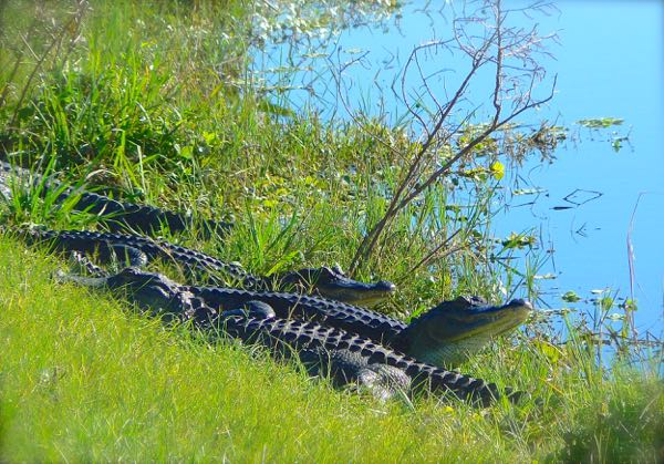 alligators at Taylor Creek Stormwater Treatment Area