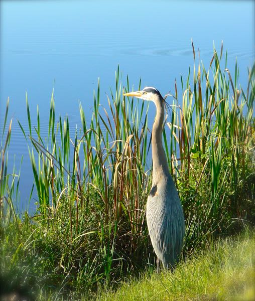 blue heron at Taylor Creek Stormwater Treatment Area
