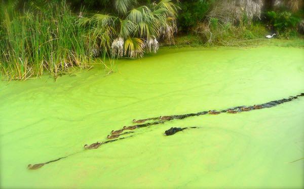 ducks at Wall Springs Park, Palm Harbor-
