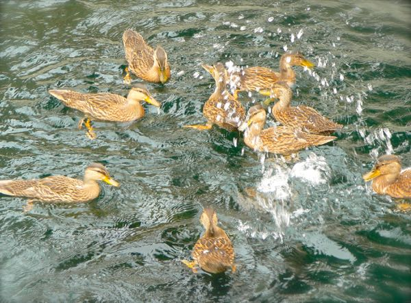 ducks bathing at wall springs park