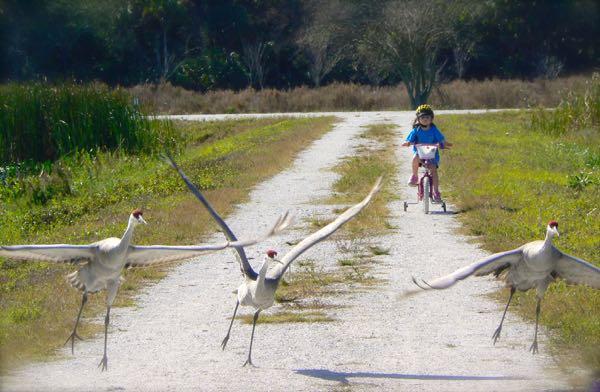 sandhill cranes atTaylor Creek Stormwater Treatment Area
