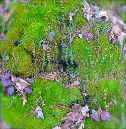 moss on chestnut tops trail