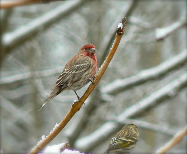 purple finch in snow