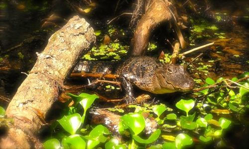 alligator at highlands hammock state park