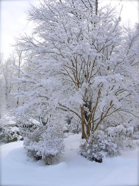 crepe myrtle in the snow